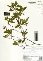 Rhododendron dauricum L.