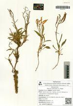 Parrya nudicaulis (L.) Regel