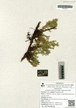 Juniperus davurica Pall. subsp. argunensis Galanin