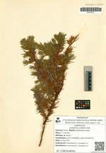 Juniperus conferta Parl.