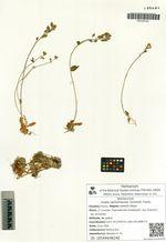 Draba sachalinensis (Schmidt) Trautv.