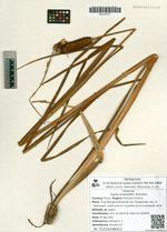 Typha przewalskii Skvortsov