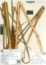 Typha pzewalshii Skvorts