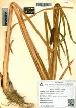 Typha orientalis C.Presl