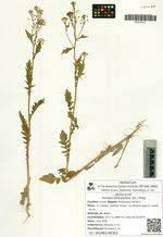 Rorippa barbareifolia (DC.) Kitag.