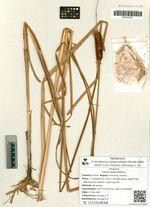 Typha angustifolia L.