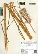 Typha domingensis Pers.