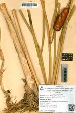 Typha latifolia L.