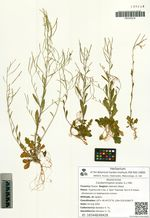 Cardaminopsis lyrata (L.) Hiit.