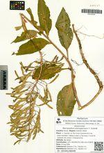 Macropodium pterospermum F. Schmidt