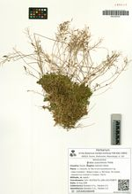 Draba ussuriensis Pohle