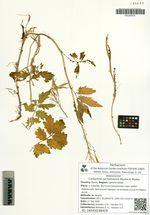 Cardamine sachalinensis Miyabe et Miyake
