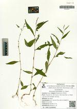 Persicaria hydropiper (L.) Spach