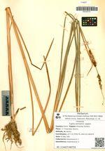 Typha laxmannii Lepech.