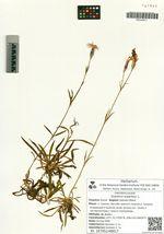 Dianthus superbus L.