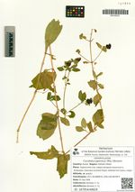Cucubalus japonicus (Miq.) Worosch.