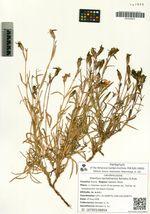 Dianthus sachalinensis Barkalov & Prob.