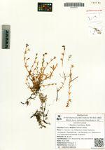 Stellaria humifusa Rottb.