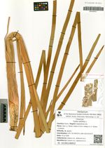 Typha latifolia L.