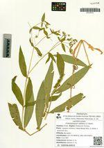 Fimbripetalum radians (L.) Ikonn.