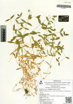 Stellaria ruscifolia Pall. ex Schlecht.