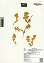 Honckenya oblongifolia Torr. et Gray