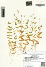 Stellaria ruscifolia Pall.