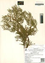 Biota orientalis (L.) Endl.