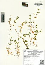 Moehringia lateriflora (L.) Fenzl