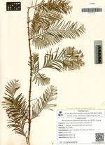 Metasequoia glyptostroboides Hu & W.C.Cheng