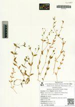 Stellaria calycantha (Ledeb.) Bong.