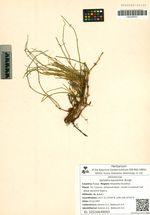 Ephedra equisetina Bunge