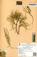 Ephedra monosperma C.A.Mey.