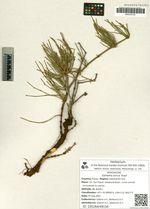 Ephedra sinica Stapf