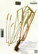 Bistorta alopecuroides (Turcz. ex Meisn.) Kom.