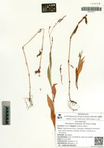 Persicaria longiseta (De Bruyn) Kitag.