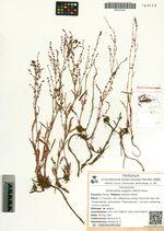 Acetosella vulgaris (Koch) Fourr.