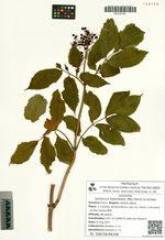 Sambucus sieboldiana (Miq.) Blume ex Schwer.