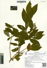 Weigela middendorffiana (Carr.) C. Koch