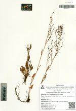 Acetosella angiocarpa (Murb.) A. Löve