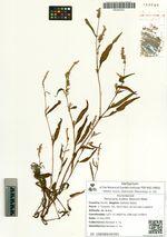 Persicaria scabra (Moench) Mold.