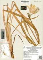 Hemerocallis coreana Nakai