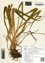 Hemerocallis esculenta Koidz.