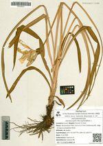 Hemerocallis lilio-asphodelus L.