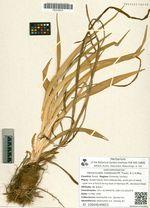Hemerocallis middendorffii Trautv. & C.A.Mey.