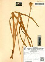 Hemerocallis flava (L.) L.