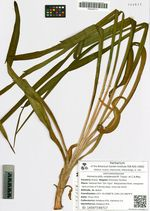 Hemerocallis middendorfii Trautv. et C.A.Mey.
