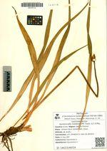 Hemerocallis middendorffii Trautv. & C.A. Mey.