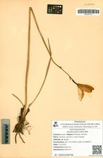 Hemerocallis minor Mill.