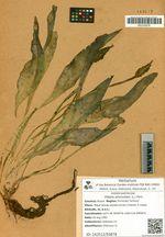 Ottelia alismoides (L.) Pers.